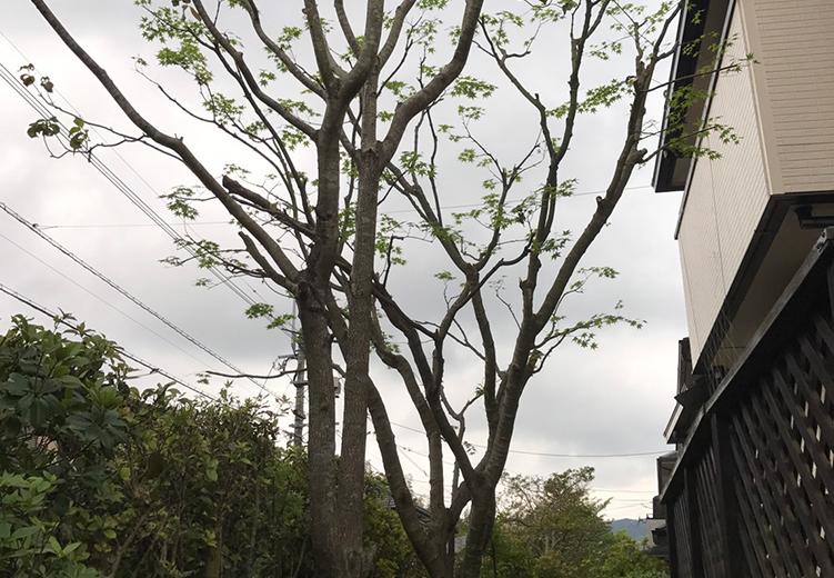 枝が伸びすぎたハナミズキが奇麗に剪定されました